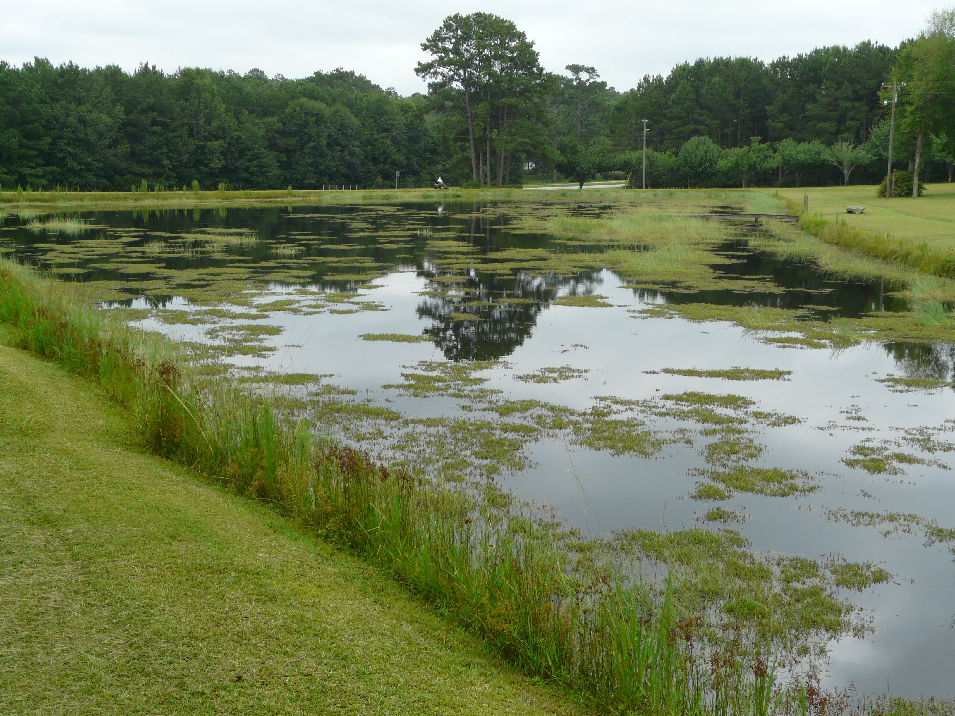 Pond weeds torpedograss southern water grass thomas for Pond problems