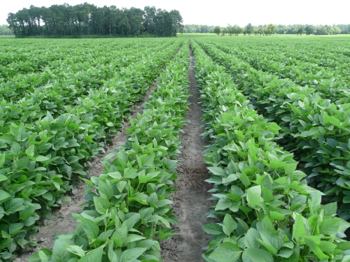 Soybeans 002