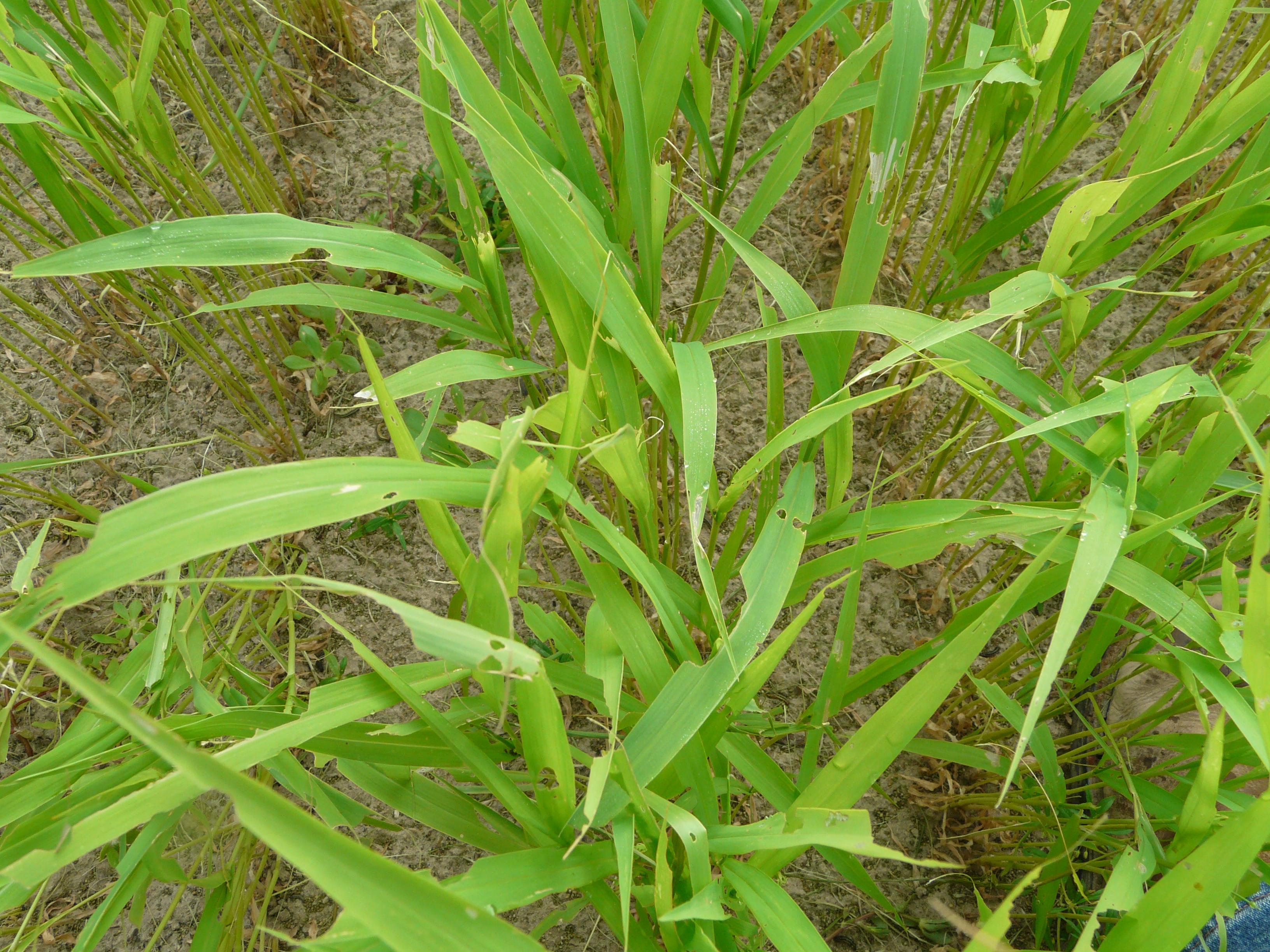 Brown millet