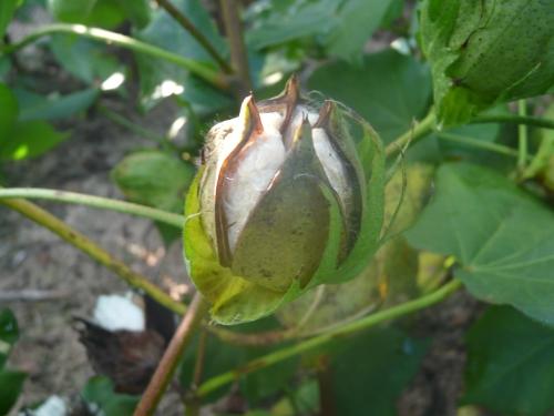 Cotton-BollsOpen 005