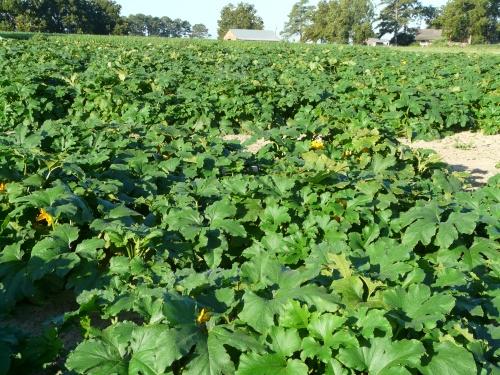 Pumpkins- 006
