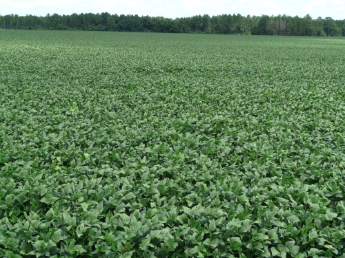 Soybeans 016