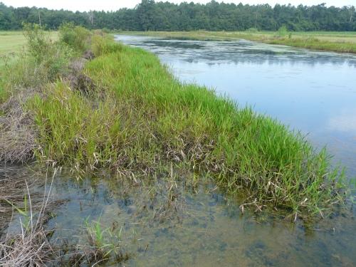 Torpedograss & Filamentous Algae011