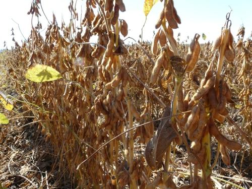 SoybeansDry-Matthews-PecanHarvest 003