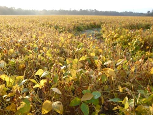 SoybeansDry-Smith-Rye 005