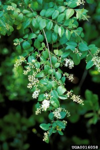 Chinese Privet - UGA