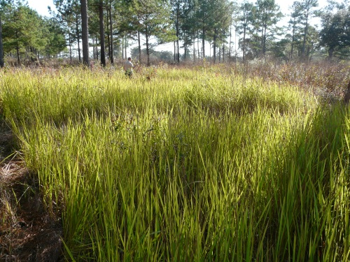 cogon grass Alabama cogongrass aerial photographs in open fields and forests cogongrass initially forms circular infestations that appear light green in summer and light brown in winter as can be viewed in these oblique aerial photographs.