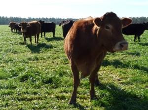Cows-CW (4)
