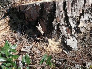 Sawdust at the base of shortleaf pine is from Ambrosia Beetle