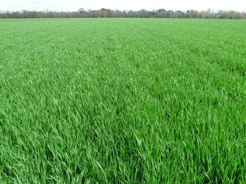 Wheat 011