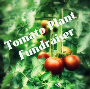 TomatoPlantFundraiser