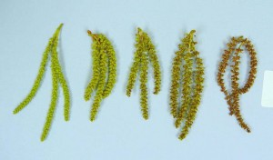 Catkins - Immature, Shedding, Past Maturity