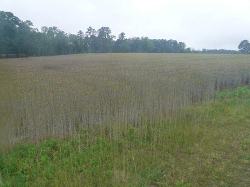 Wheat-Fusarium 002
