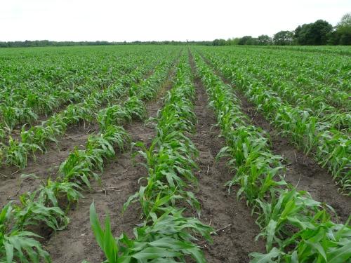 Corn-Wind 001