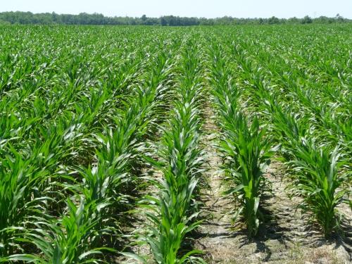 Corn-001