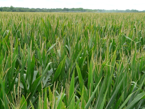 R3-Corn