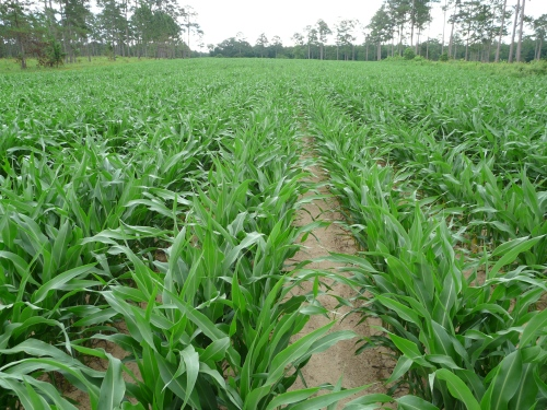 Sorghum-Aphids-LeafSpot 004