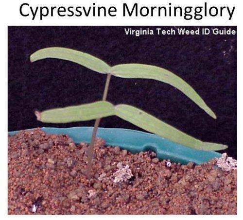 Cypressvine-MG