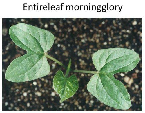 Entireleaf-MG