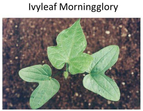 Ivyleaf-MG