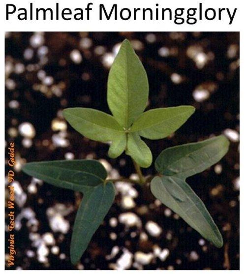 Palmleaf-MG