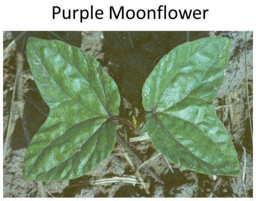 PurpleMoonflower-MG