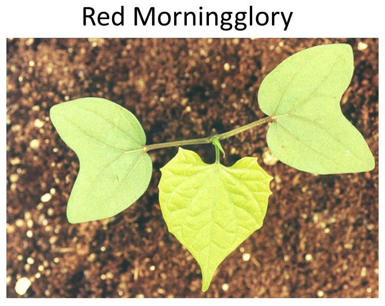 Morninglory Morning Glory Happiness To The Homeland