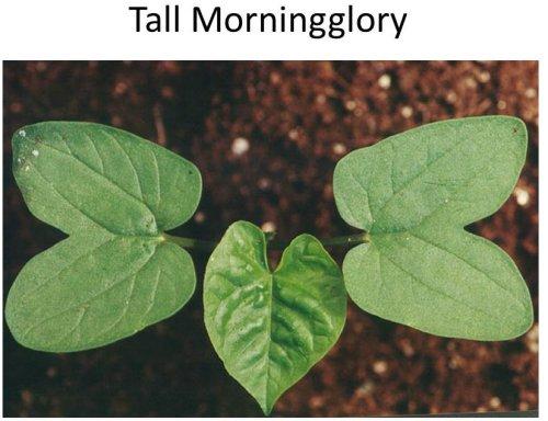 Tall-MG