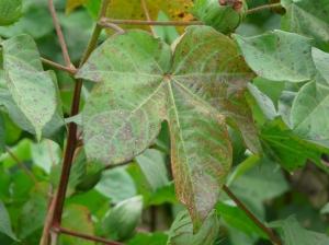 Stemphyllium Leaf Spot