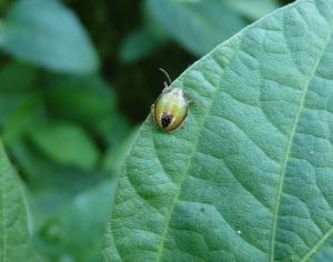 Immature Redbanded Stinkbug