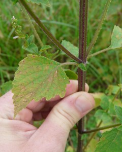 Leaves are opposite with serrated leaf margins. Stem is square.