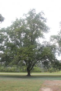 Non-sprayed side of a tree sprayed with Surround