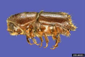 Ips Engraver Beetle-UGA