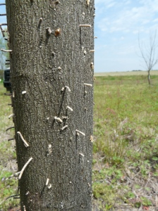 "Evidence of ambrosia beetles appear as ""toothpicks"" on the bark"