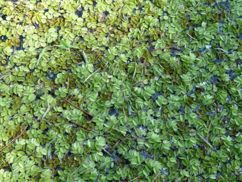Common Salvinia (2)