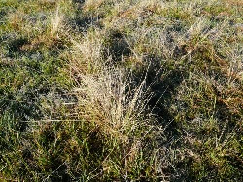 Smutgrass 011