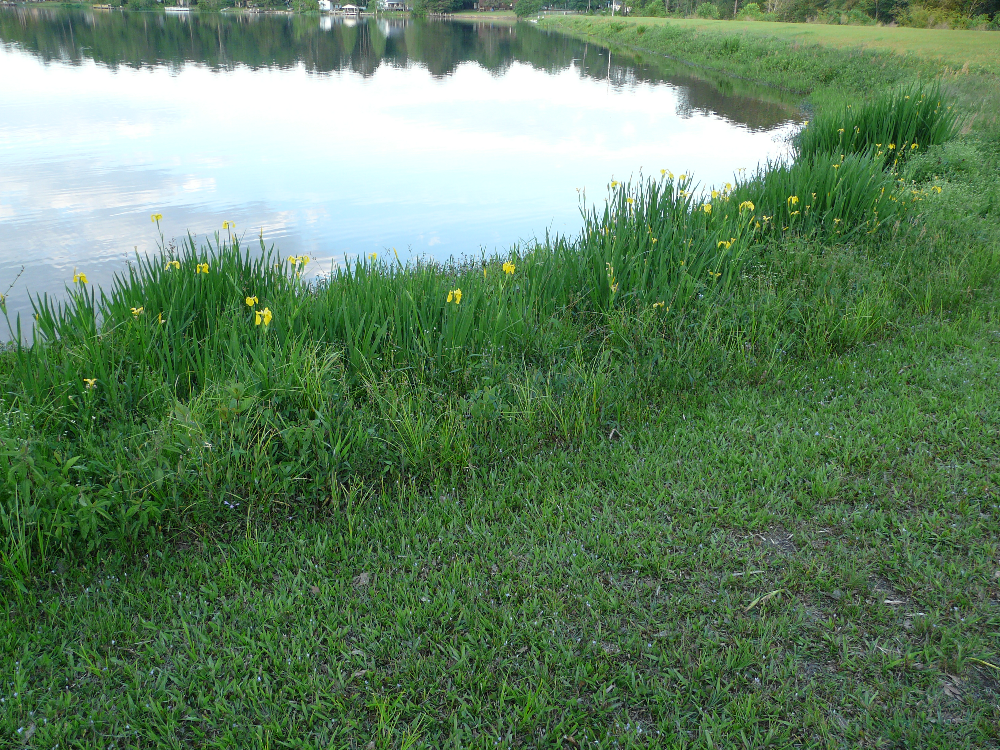 Pond Weeds Yellow Iris Thomas County Ag