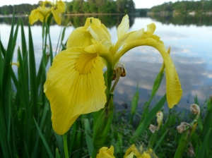 Yellow Iris Flower