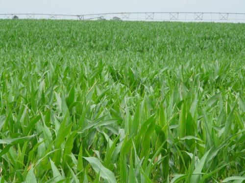 Corn-V8-V10 002