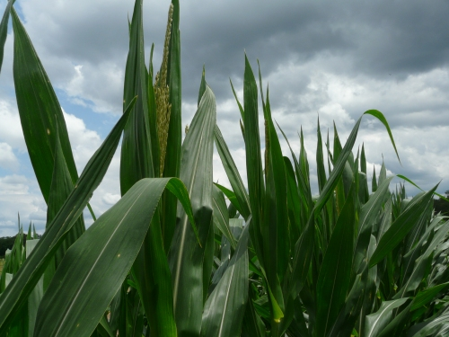 CornTasseling