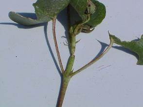 Grasshopper damage - Photo by Dr. Phillip Roberts