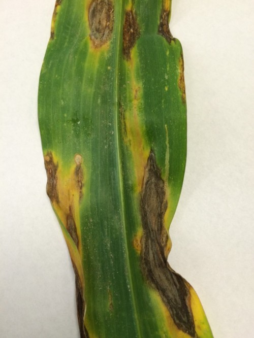 Northern Corn Leaf Spot - Photo by Andy Shirley, Mitchell County