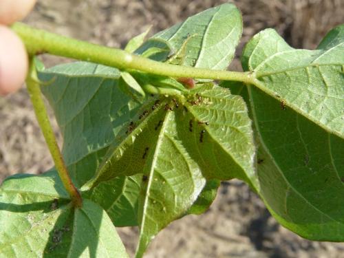 Ants 'farming' aphids