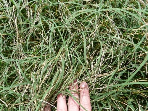 BermudagrassStemMaggot (2)
