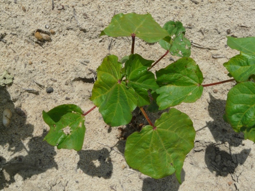 Orthene spray at one leaf