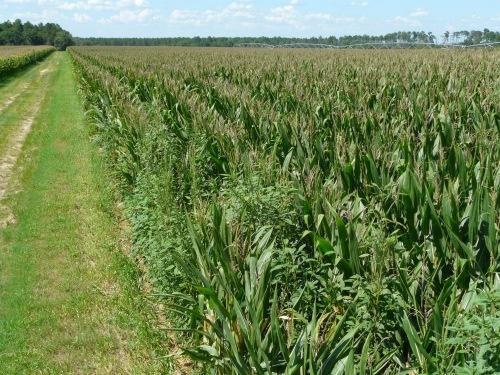 Corn-Denting (3)