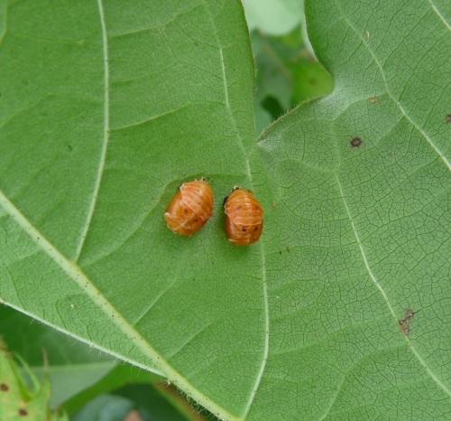Lady Bug Pupae