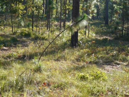 windblowntrees-longleaf-023