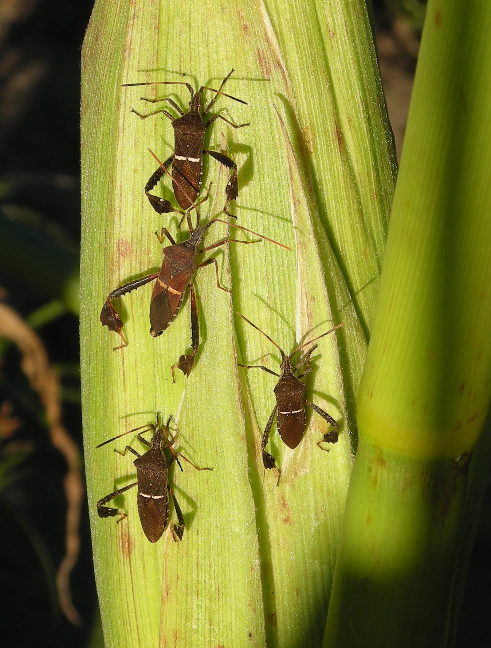 Satsuma Insect Issues | Thomas County Ag